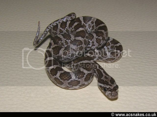 Oval/Orion's het Albino 2011