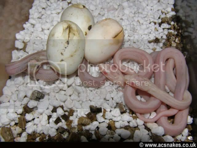 Genesis/Selmak's Hatchlings 2011