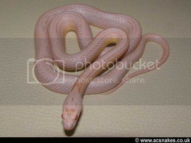 Yearling Hypo Snow Stripe