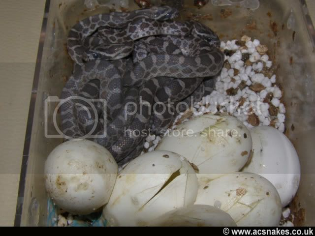 Oval/Orion's Hatchlings 2011